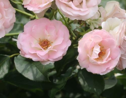 ピンク系バラ ラブユー