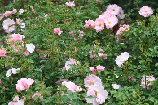 ピンク系バラ クイーンマザー