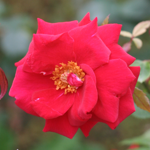 赤系バラ ロブロイ