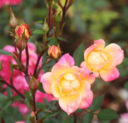 ピンク系バラ・黄色系バラ ベビー マスケラード