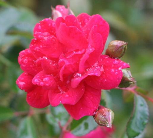 赤系バラ フェアリー クイーン
