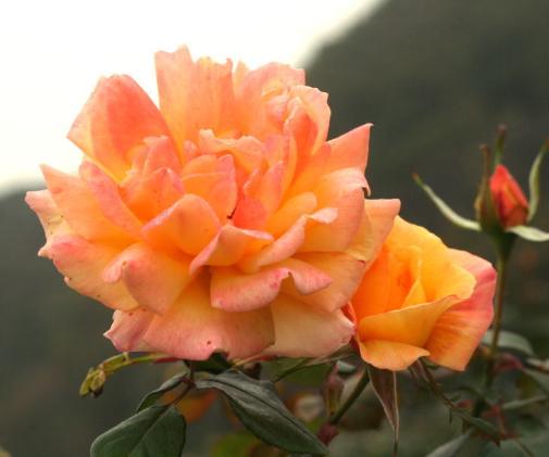 オレンジ系バラ フィリップノワレ