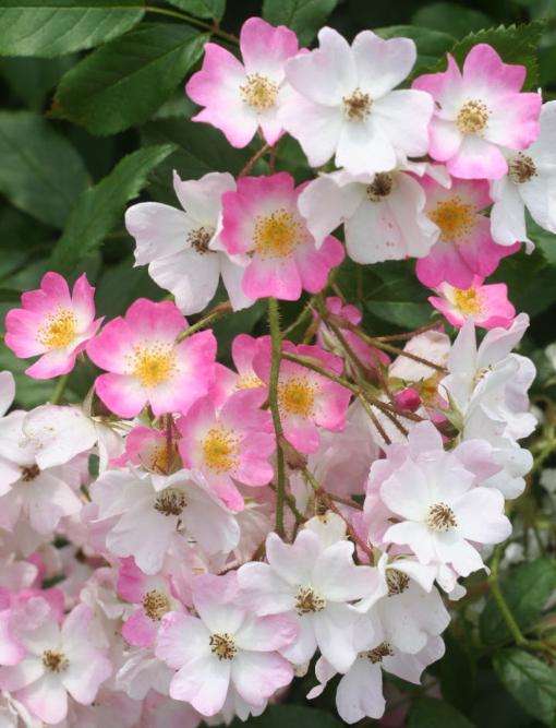 ピンク系バラ バレリーナ