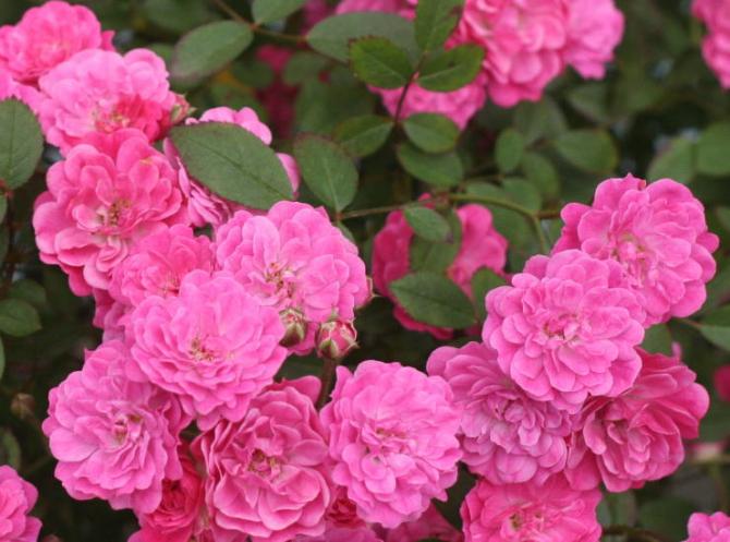 ピンク系バラ 紅雀